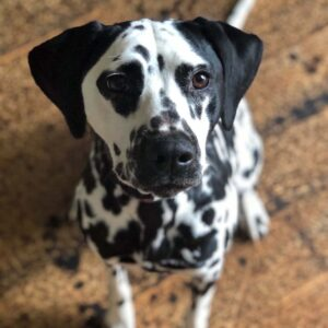 Our Dalmatian Zoey in our home in Plattsburgh, NY