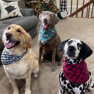 Our three fur babies posing for our Christmas card!